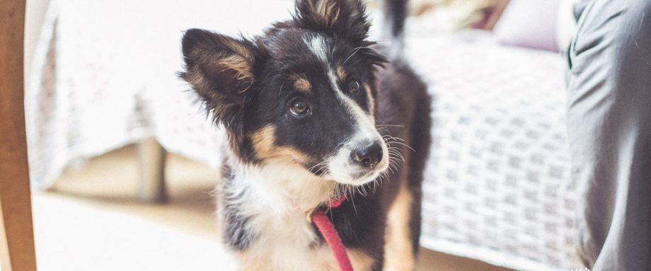 A picture of a sheep dog puppy looking inquisitive.
